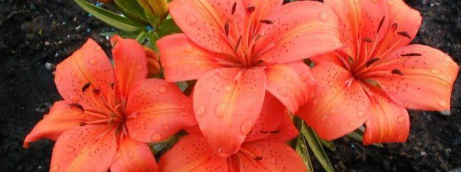 Правильная посадка осенью и уход за лилиями в открытом грунте