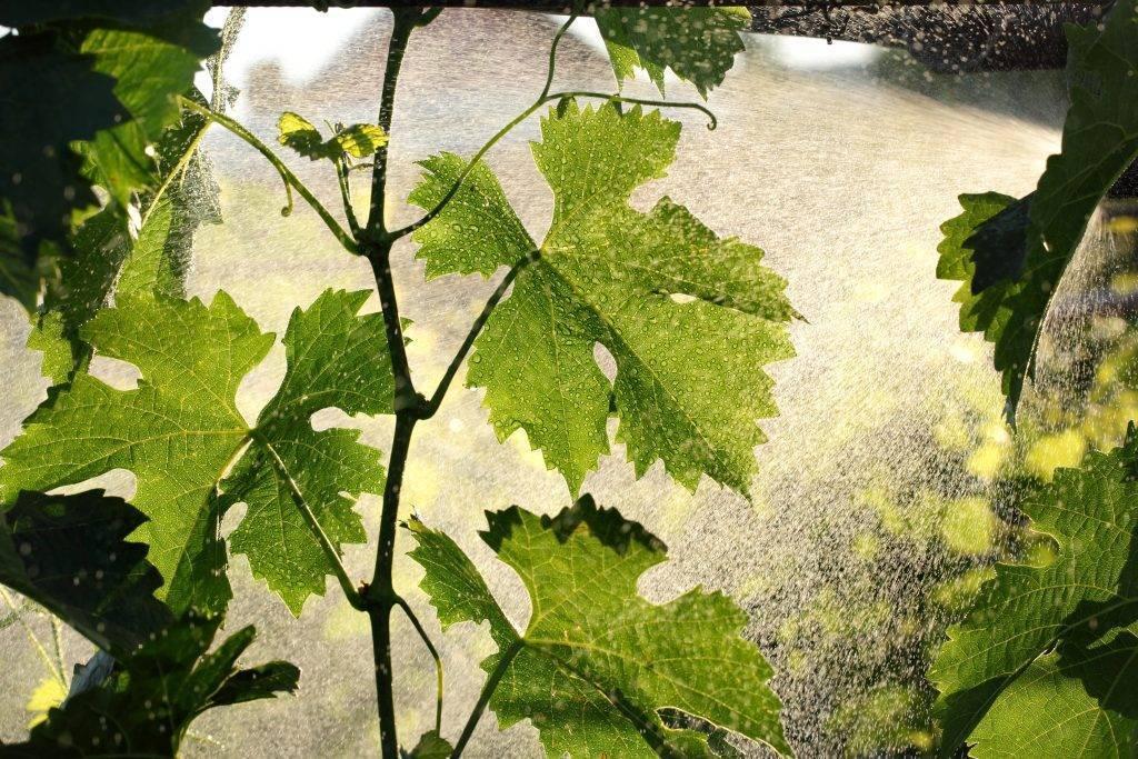 Удобрение винограда борной кислотой