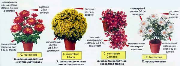 Комнатная хризантема - как ухаживать, болезни, пересадка