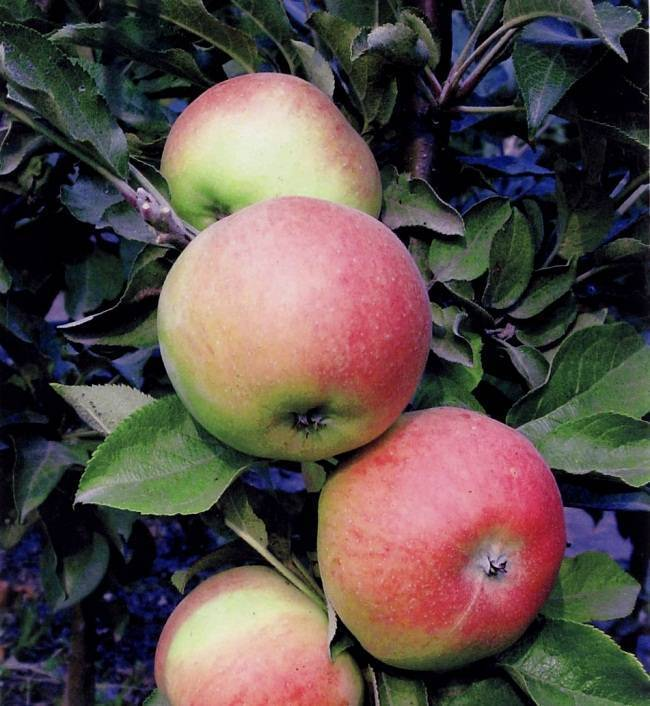 Различные летние сорта яблонь