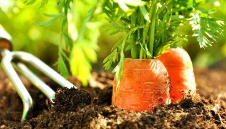 Как правильно сажать морковь на туалетной бумаге