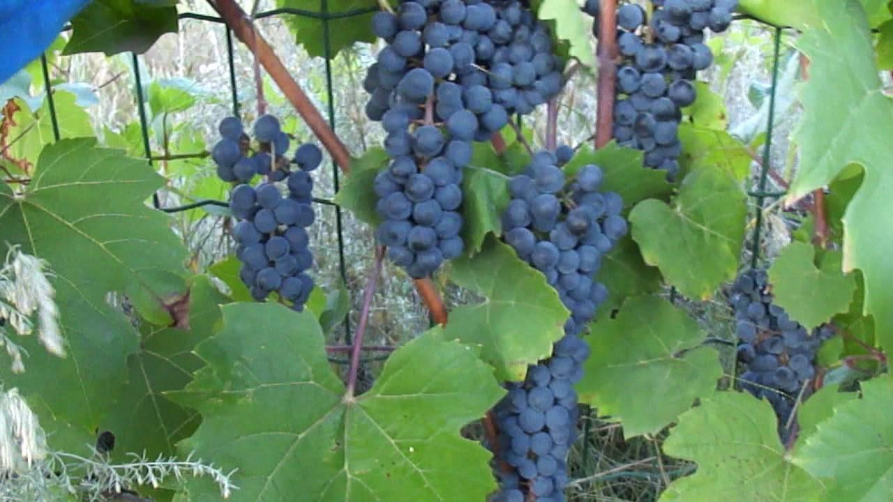 Виноград мукузани описание сорта фото отзывы видео