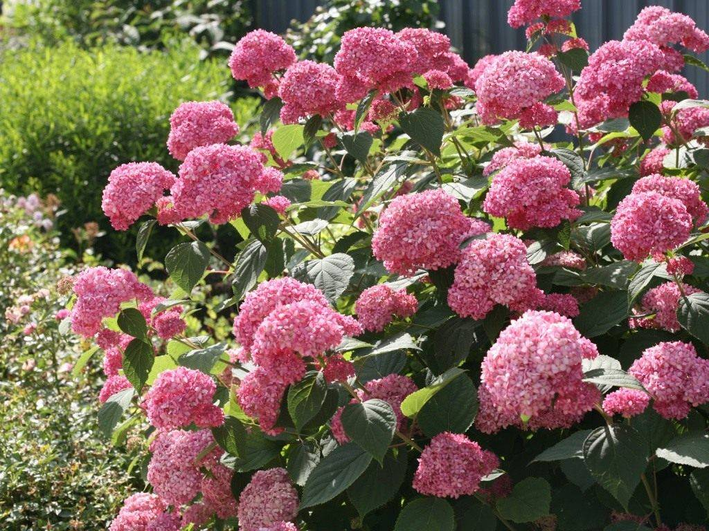 Гортензия древовидная: обрезка осенью на зиму, посадка и уход за растением, а также размножение черенками