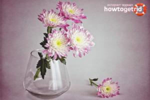 Как сохранить срезанные хризантемы в вазе надолго