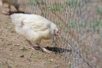 Как правильно определять симптомы болезней у цыплят и лечить их