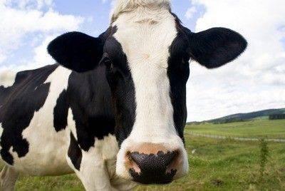 Почему пропало молоко у коровы: основные причины, возможные заболевания, меры профилактики