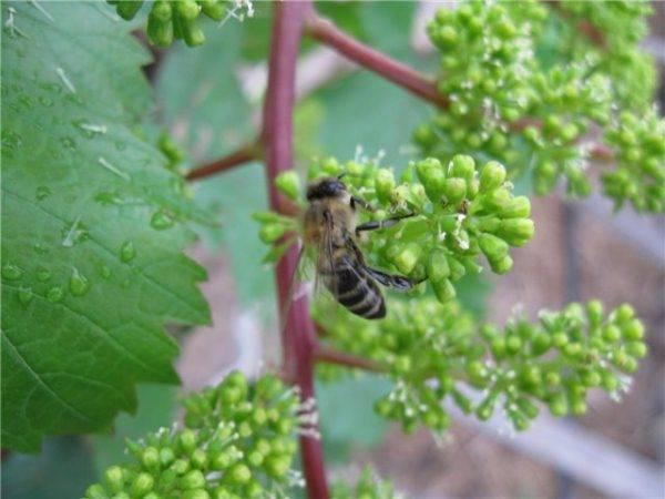 Цветение винограда: как опыляется виноград, искусственное опыление