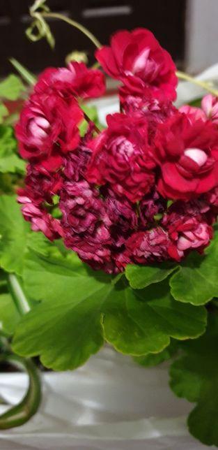 Представляем вашему вниманию сорта розоцветных пеларгоний с фото и описанием