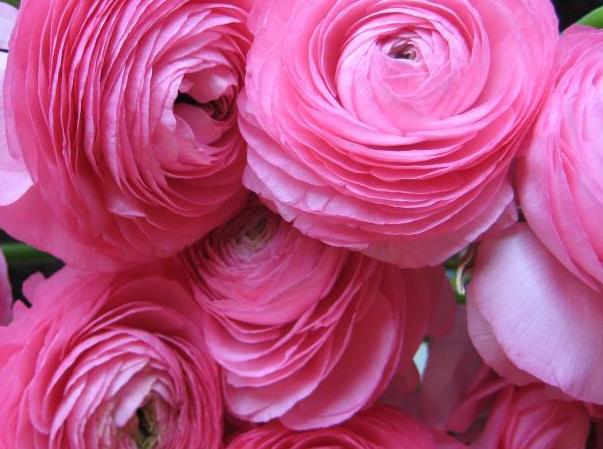 Пионовидные розы: миллион сортов и 3 простых правила ухода