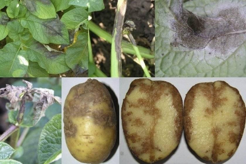 Фитофтороз картофельный: как бороться, чем обрабатывать, как защитить