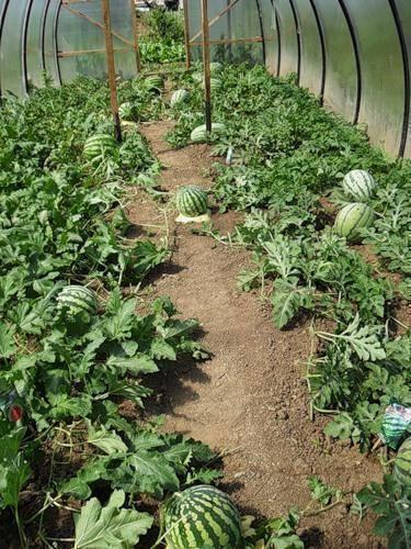 Арбузы на урале выращивание