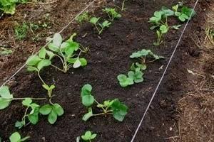 Что посадить после клубники для отличного урожая