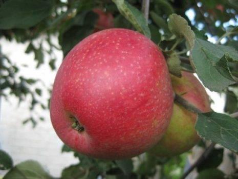 Описание яблони сорта пепин шафранный: характеристики, фото, отзывы садоводов
