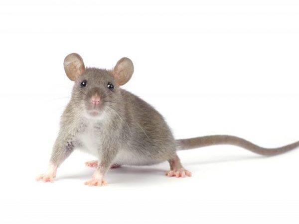 Как избавиться от крыс в курятнике навсегда