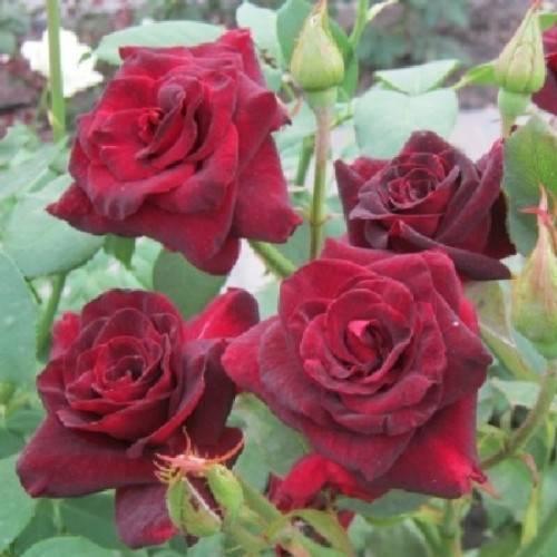 Чайно-гибридная роза сорта блэк баккара