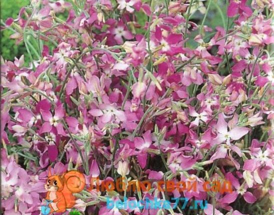 Выращивание левкоя и маттиолы: от посева на рассаду до цветения