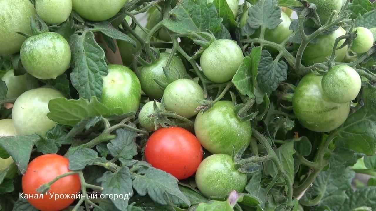 Безопасные пропорции борной кислоты для помидор. рецепты растворов для различных целей