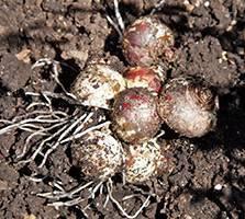 Как хранить луковицы гиацинта после цветения