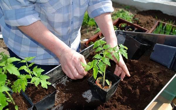 Помидоры: уход и выращивание в открытой почве