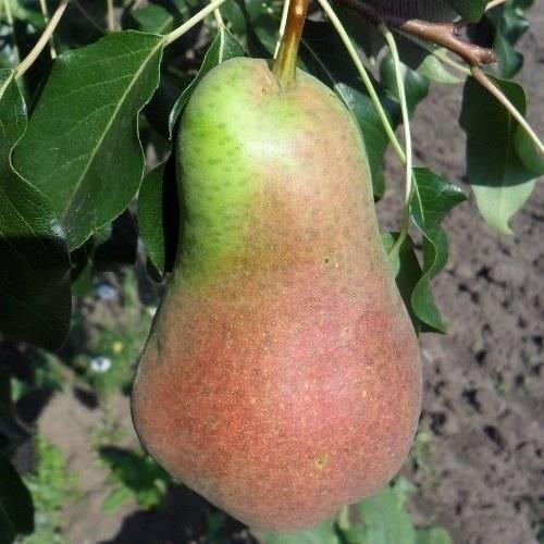 Описание самоплодного урожайного сорта груши русская красавица
