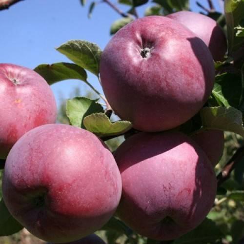 Описание сорта, популярного более века — яблоня лобо