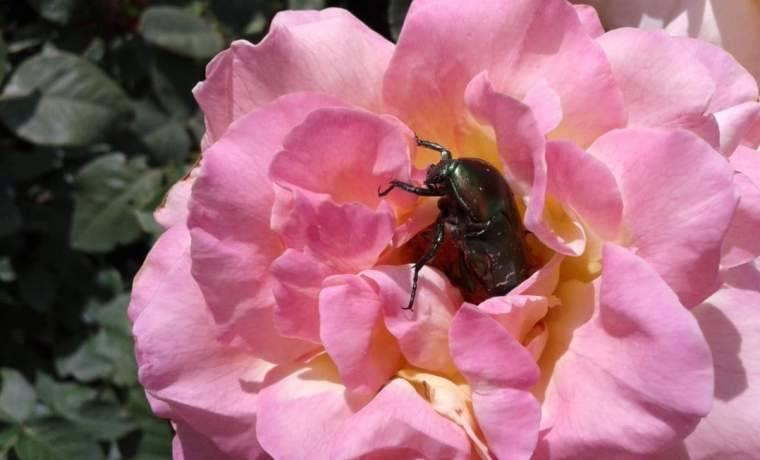 Фотоопределитель болезней и вредителей роз с описанием, лечением и мерами борьбы
