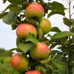Яблоня антей: особенности сорта и ухода