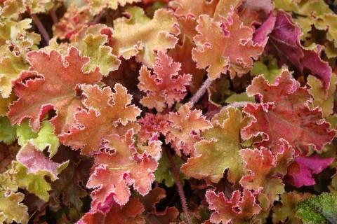 Особенности выращивания гейхеры в саду. как посадить, ухаживать и размножать.
