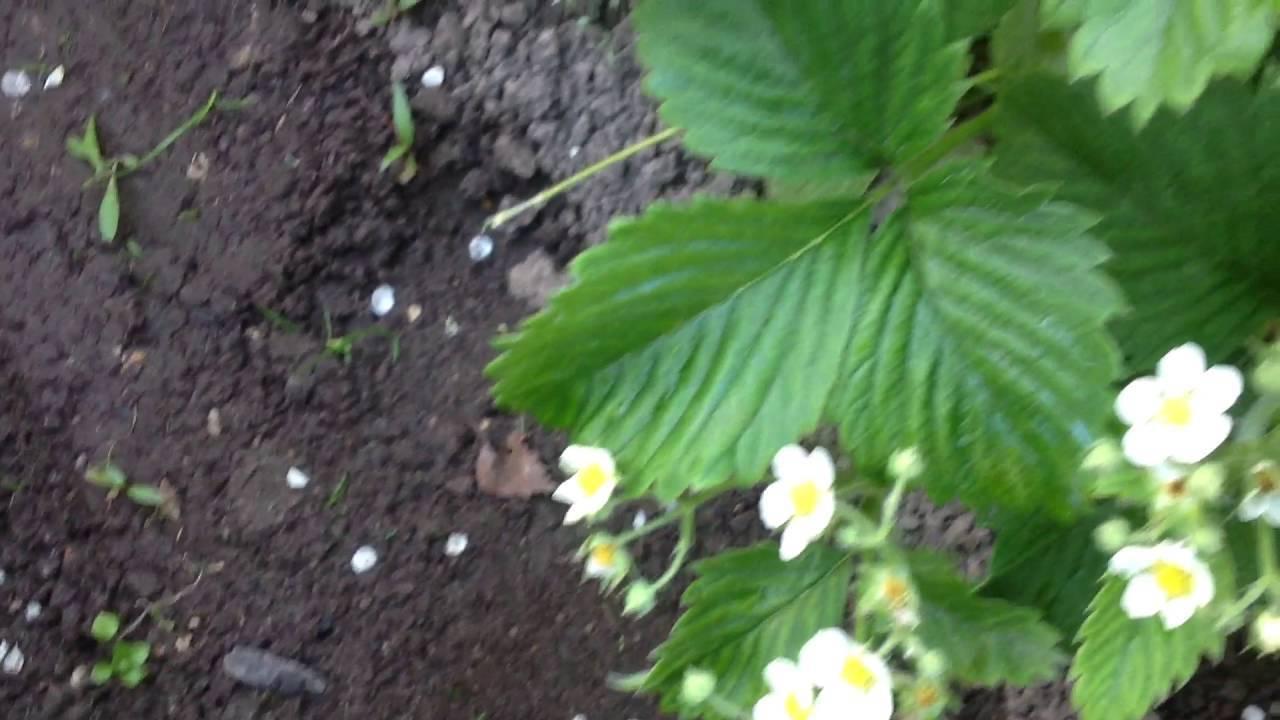 Почему на огурцах много пустоцвета: причины, что делать