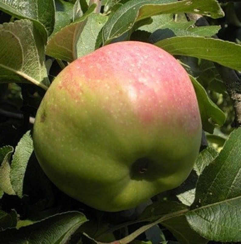 Яблоня богатырь - описание сорта, посадка и уход