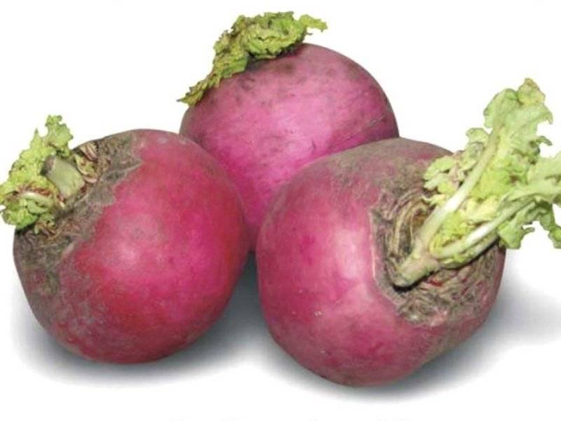 Посадка редьки маргеланской и уход: сроки посева китайского овоща, подходящие для этого сорта, возможные проблемы при выращивании