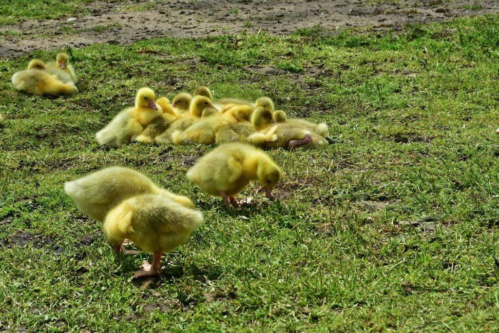 Что делать если утята и утки падают на ноги
