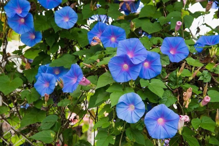 Ипомея: описание, популярные сорта, выращивание из семян, посадка и уход (50+ фото & видео) +отзывы