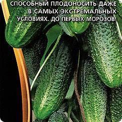 Технология выращивания и уход за сортом огурцов сибирская гирлянда f1