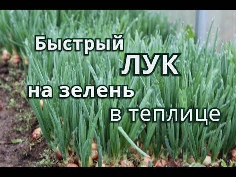 Как вырастить зеленый лук в квартире на подоконнике зимой
