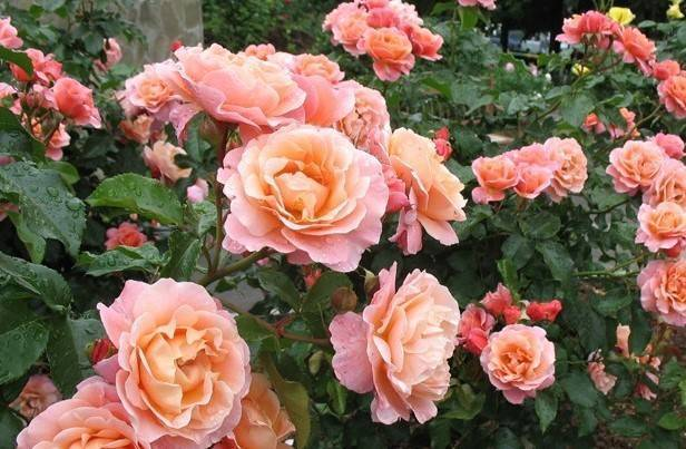 - чайно-гибридная роза black magic (черная магия): фото и описание, отзывы