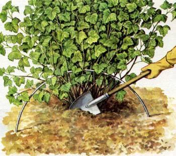 Как правильно ухаживать за смородиной весной: огородные хитрости