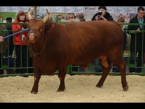Калмыцкая порода крс: характеристики породы коров