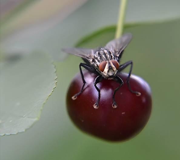 Вишневая муха методы борьбы - чем обработать черешню и вишню от вишневой мухи: инсектициды, народные средства, ловушки