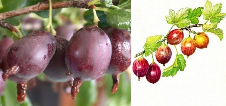 Крыжовник финик: описание сорта, особенности выращивания, отзывы - плодовые кустарники - 2020