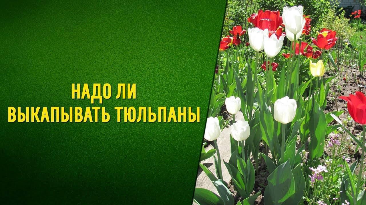 Когда выкапывать тюльпаны после цветения: сроки и особенности хранения