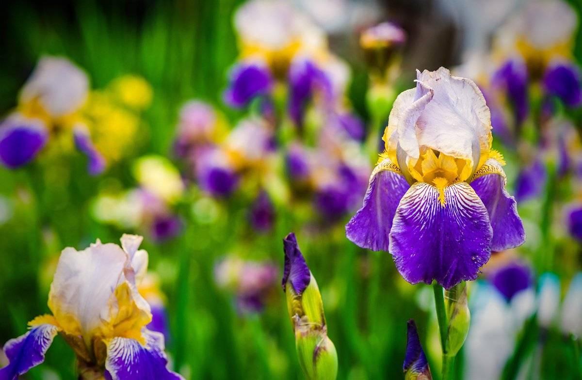Радуга в саду – сорта ирисов с фото и названиями