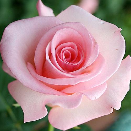 Черный принц — идеально черная роза