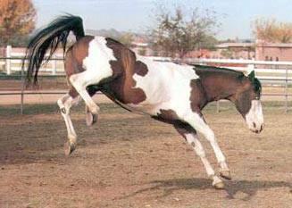 Самые большие лошади в мире (34 фото): крупные породы. какие кони в россии самые огромные? гигант из «книги рекордов гиннеса»