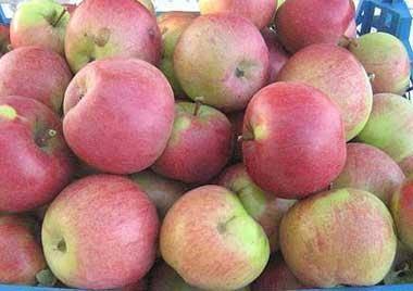 Яблоня беркутовское: описание сорта, особенности выращивания, фото
