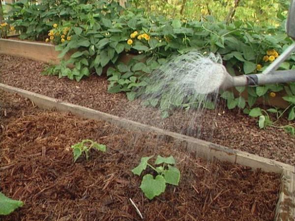 Правильное применение навоза для огурцов в открытом грунте и теплице
