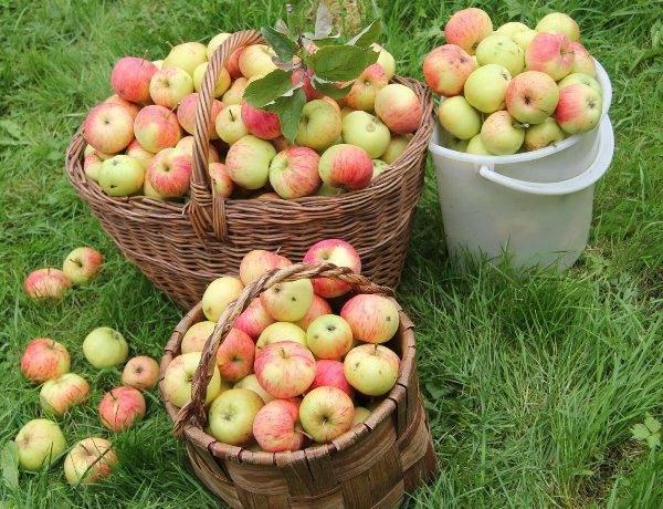 Описание сорта яблок пепин шафранный