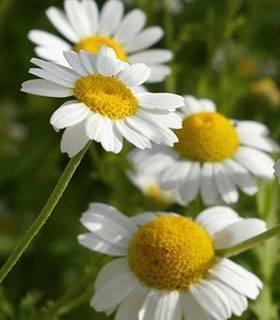 Ромашка аптечная – полезные свойства, состав, рецепты и лечение ромашкой