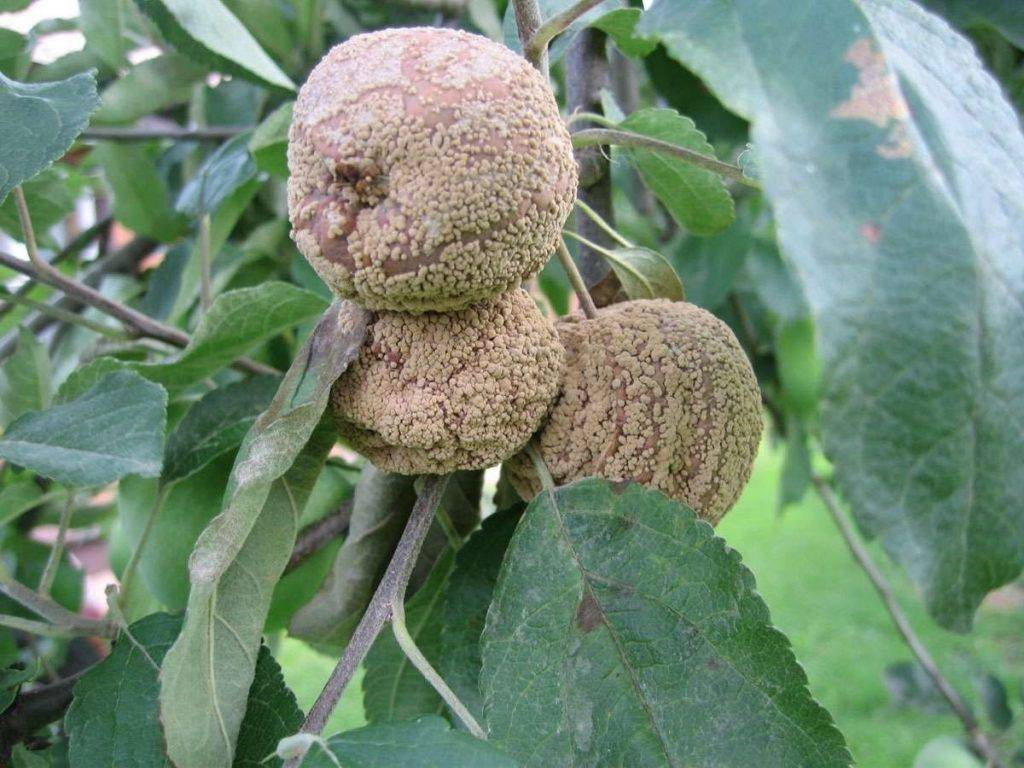 Болезни фруктовых деревьев и их лечение, фото