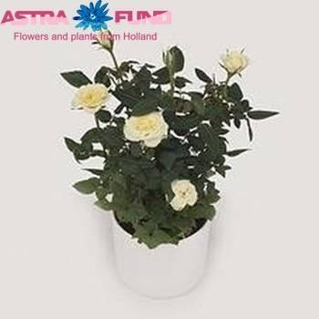 Роза ванилла энциклопедия роз. роза чайно-гибридная vanilla. общая информация и история создания сорта